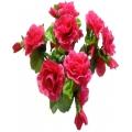 Роза Р55